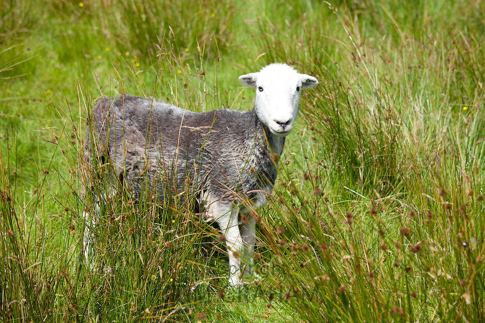Traditional Herdwick sheep at Langdale in the Lake District National Park, Cumbria, UK