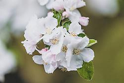 THEMENBILD - Wassertropfen auf Apfelblüten, aufgenommen am 30. April 2020, Kaprun, Österreich // Waterdrops on apple blossoms on 2020/04/30, Kaprun, Austria. EXPA Pictures © 2020, PhotoCredit: EXPA/ Stefanie Oberhauser