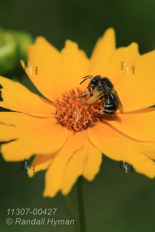 Bee pollinates tickseed flower (Coreopsis lanceolata) in Chicago South Side rain garden designed to reduce runoff into Lake Michigan; Blue Island, Illinois.
