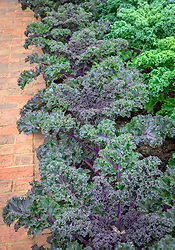 Brassica oleracea Acephala Group 'Redbor' - Kale Redbor - lining the edge of a brick path