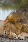 Male lion snoozing by a waterhole, Serengeti National Park, Tanzania.