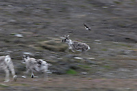 Arctic Skua scaring off a Svalbard Raindeer who propably came to close to the nest