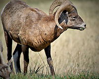 Bighorn Sheep Eating Grass at Badlands National Park. Image taken with a Nikon D200 camera and 80-400 mm VR lens (ISO 100, 400 mm, f/5.6, 1/320 sec).