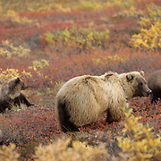 Grizzly Bear, (Ursus horribilis) Toklat sow with four cubs grazing and feeding on berries on tundra. Denali National Park. Alaska.