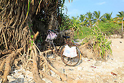 Bicycle parked under pandanus palm tree, Sri Lanka, Asia