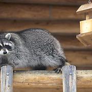 Raccoon, (Procyon lotor) On deck going after suet in bird feeder. Captive Animal.