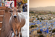 A holy cow in the ancient city of Jodhpur, Rajasthan, India.