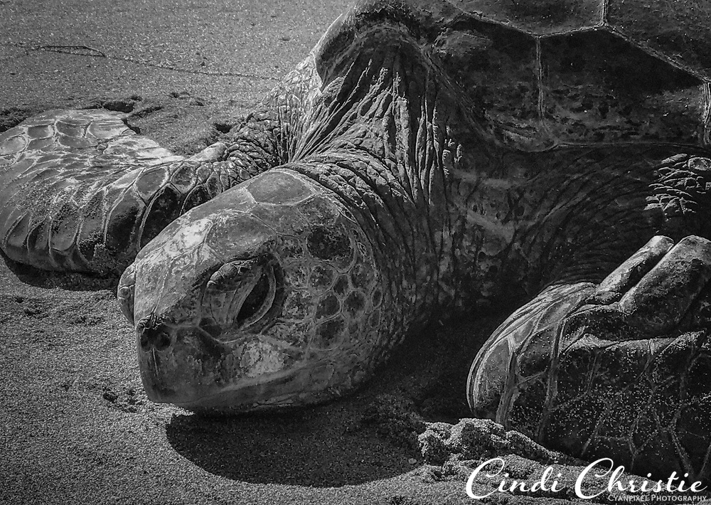 A green sea turtle (honu) rests on a sandy Kahana beach on Jan. 7, 2018, in Maui, Hawaii. The species is considered threatened. (© 2018 Cindi Christie/Cyanpixel) Original in color.