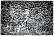 05-11-2017 Foto's genomen tijdens een persreis naar Buffalo City, een gemeente binnen de Zuid-Afrikaanse provincie Oost-Kaap. Areena Riverside Resort - Giraffe