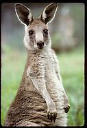 07: RURAL NSW WALLAROOS, KANGAROOS