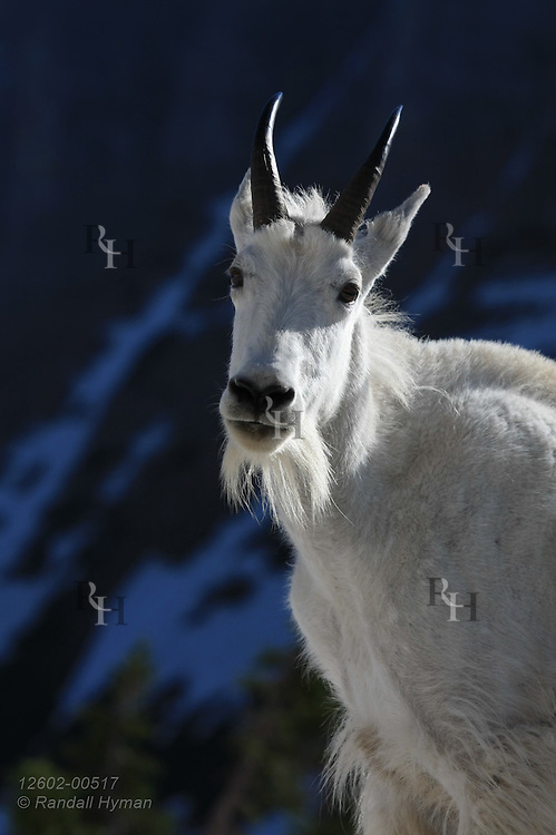 Adult mountain goat (Oreamnos americanus), moulting winter wool for short summer coat, pauses on snowy slope in June near Logan Pass in Glacier National Park, Montana.