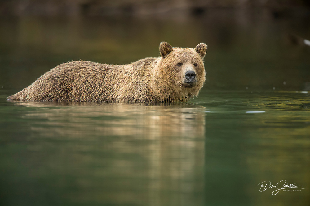Grizzly bear (Ursus arctos)- Mother bear hunting sockeye salmon spawning in the Chilko River, Chilcotin Wilderness, BC Interior, Canada
