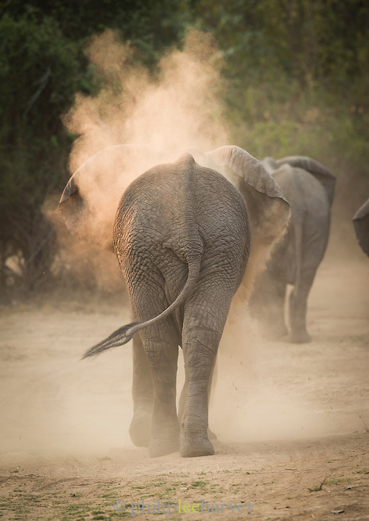 African Elephants, Luangwa River Valley, Zambia, Africa