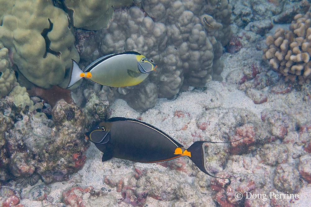 orangespine unicornfish or umauma lei, Naso literatus, in light and dark color phases at cleaning station, Kahaluu Beach Park, Keauhou, Kona, Hawaii ( Big Island ), Hawaiian Islands ( Central Pacific Ocean )