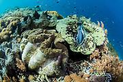 Giant Clam (Tridacna gigas)<br /> Raja Ampat<br /> Indonesia