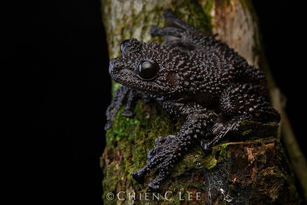 Ryabov's Bug-eyed Frog (Theloderma ryabovi), female. Thua Thien Hue, Vietnam.