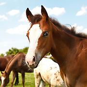 20110711 Appaloosa/Mare/Foal/Girl