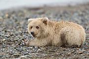 Alaskan brown bear Alaskan brown bear cub in Lake Clark National Park