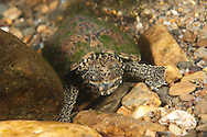 Eastern Musk Turtle<br /> <br /> Bryce Gibson/Engbretson Underwater Photography