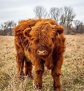 Scottish Highland calf on Fountain Prairie Farm in Fall River, WI. Photo taken December 27, 2019.