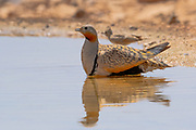 The black-bellied sandgrouse (Pterocles orientalis) Near a water pool Photographed in the Negev Desert, israel in June