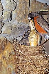 American Robin Feeding Baby