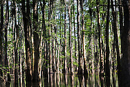 Cypress-tupelo swamps in the Atchafalaya Basin near the boat launch in Belle River, close to FAS wastewater injection well.