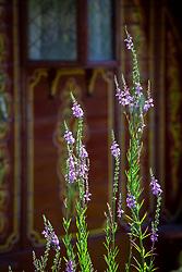 Self seeded Linaria purpurea behind the Gypsy caravan at Glebe Cottage. Purple toadflax
