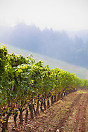 Winderlea Vineyard and Winery in Dundee, Oregon. Pinot Noir grapes ripening on the vine on a crisp September morning.