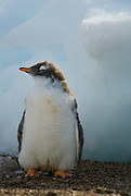 Fluffy gentoo chick standing on the beach with ice in the background. .