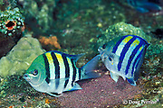 sergeant major damselfish spawning; the female, with black bars, lays eggs while the male, with blue bars fertilizes them, Abudefduf vaigiensis, Liberty Wreck, Bali, Indonesia