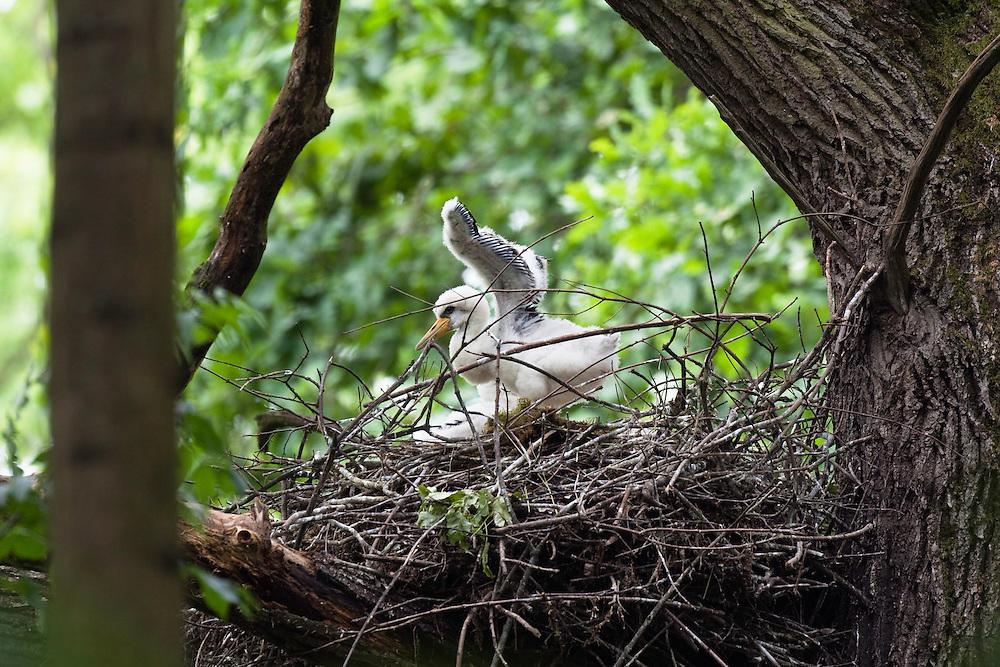 Black Stork chicks in nest, Ciconia nigra, Slovakia, Europe, Schwarzstorch-Küken im Nest, Ciconia nigra, Slowakei, Europa