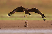 Black Kite (Milvus migrans) in flight Photographed at the Ein Afek nature reserve, Israel