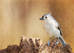 A Tufted Titmouse On Textured Tree Bark