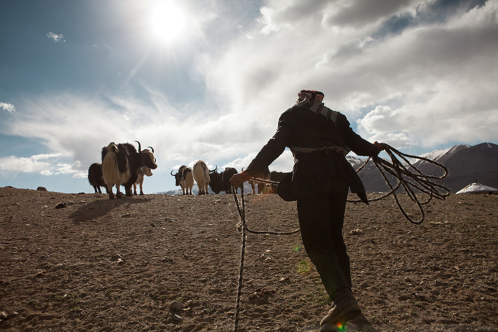 A Kyrgyz man is lassoing a yak to shear its wool. At the summer camp of Muqur, Er Ali Boi's place...Trekking through the high altitude plateau of the Little Pamir mountains (average 4200 meters) , where the Afghan Kyrgyz community live all year, on the borders of China, Tajikistan and Pakistan.