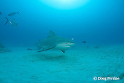 bull shark, Carcharhinus leucas, female in seasonal breeding aggregation with remora or sharksucker, Echeneis naucrates, and juvenile bar jack, Playa del Carmen, Cancun, Quintana Roo, Yucatan Peninsula, Mexico ( Caribbean Sea )