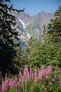 Wildflowers along the Via Alpina in the Swiss Alps