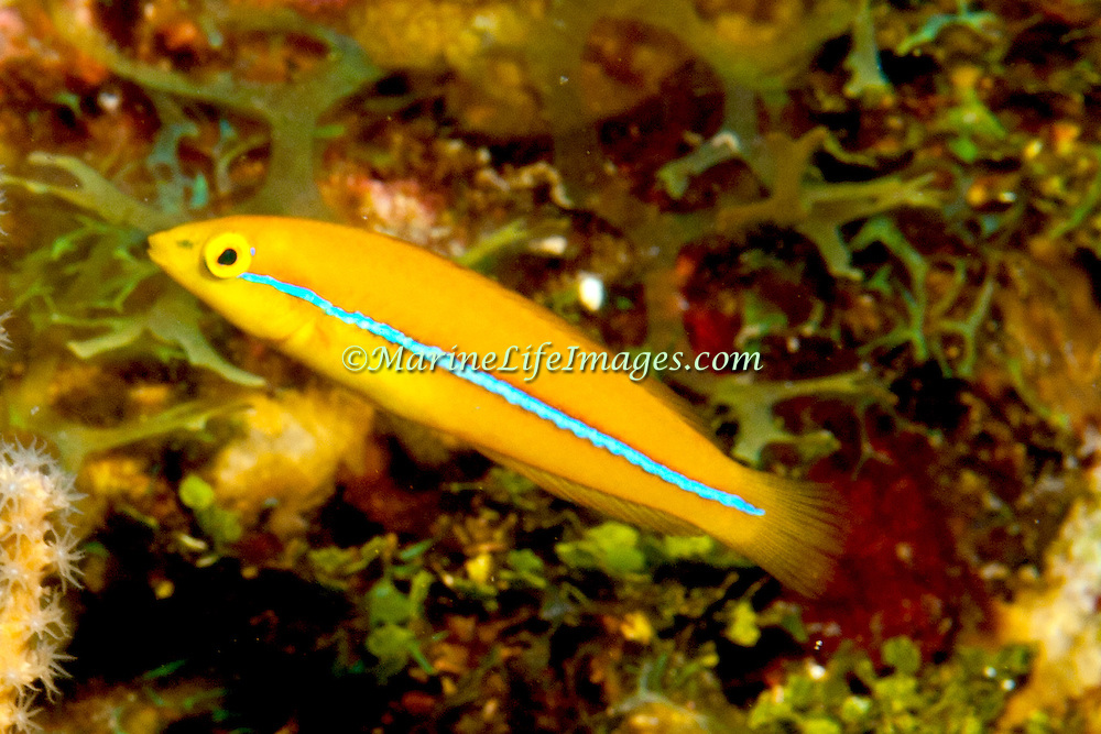 Yellowhead Wrasse consatantly swim about reefs in Tropical West Pacific; picture taken Roatan, Honduras.