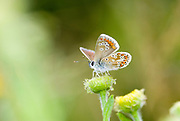 Brown Argus Butterfly, Aricia agestis, Hampshire