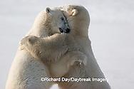 01874-106.05 Polar Bears (Ursus maritimus) sparring, Churchill, MB