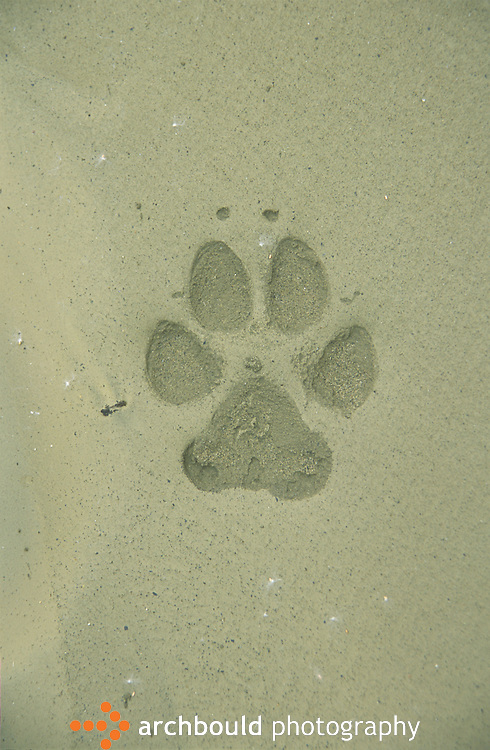 Wolf footprint in the sand, Yukon