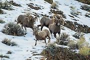 Bighorn rams chasing a ewe during the rut