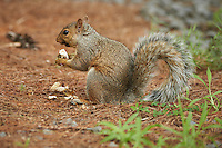 Squirrel Eating a Mushroom. Summer Backyard Nature in New Jersey. Image taken with a Nikon D800 and 300 mm f/2.8 VR lens (ISO 400, 300 mm, f/2.8, 1/125 sec).