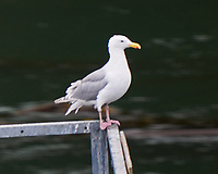 Glaucous-winged Gull (Larus glaucescens). Viewed from the deck of the MV Columbia. Alaska Marine Highway, Inside Passage, Wrangell Narrows. Image taken with a Nikon D3x camera and 70-300 mm VR lens.
