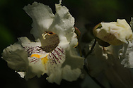 This is the flower from the Northern Catalpa tree found near Tioga-Hammond Lakes.