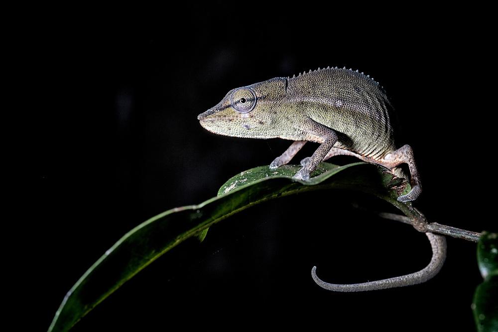 Perinet Chameleon (Calumma gastrotaenia)<br /> East Madagascar<br /> Mantadia National Park<br /> MADAGASCAR<br /> ENDEMIC
