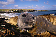 Southern Elephant Seal Weaner<br />