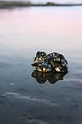 Sunset colors reflected in the water around Blue Mussels (Mytilus edulis) on the mudflats at Hulls Cove, Maine