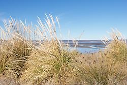 Pampas Grass - Cortaderia selloana