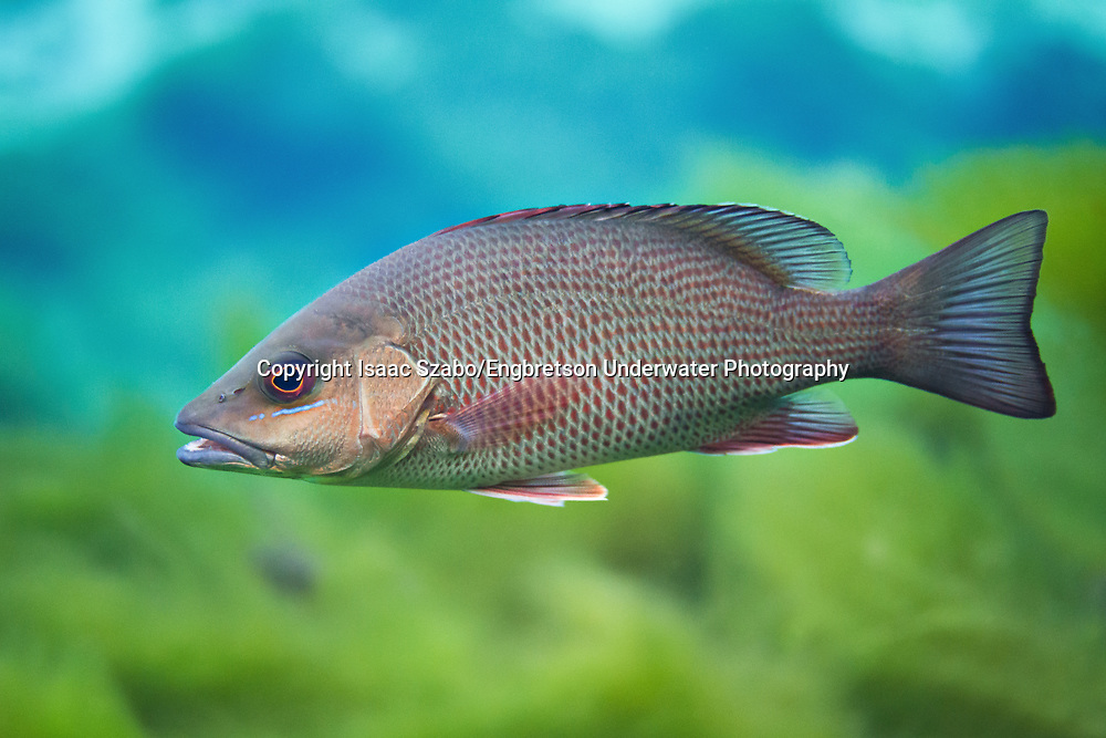 Gray Snapper<br /> <br /> Isaac Szabo/Engbretson Underwater Photography